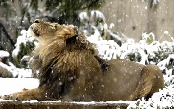 lion, снег, zhivotnye, winter,