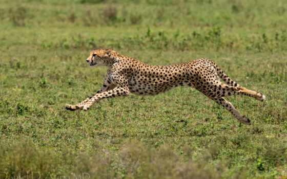 гепард, acinonyx, jubatus, гепарды, images, леопард,