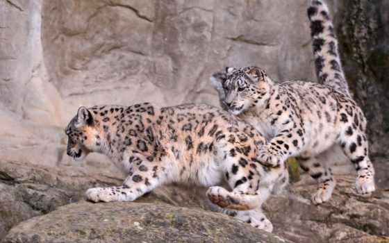 леопард, снег, jumping