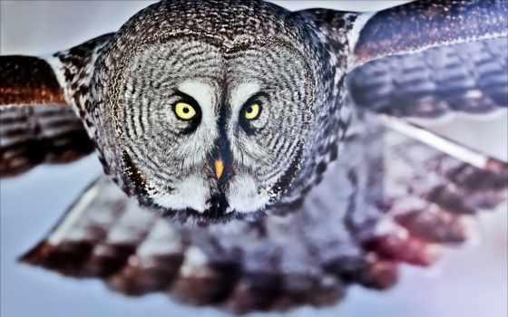 сова, крылья