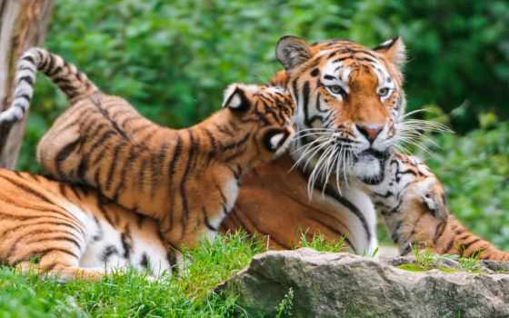 baby, тигр, tigers, cute,