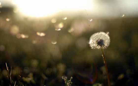 природа, одуванчик, растения, вечер, пушинки, поле, легкость, закат,