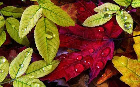 листва, осенние, осень, роса, фона, дек, favourite, зеленые, капли, тотализатор, лист,
