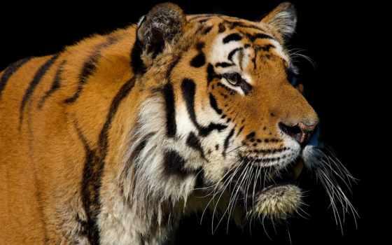 тигр, fondos, desktop