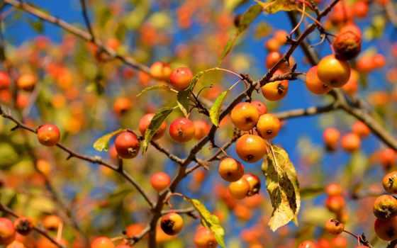 ветки, листва, яблоки,