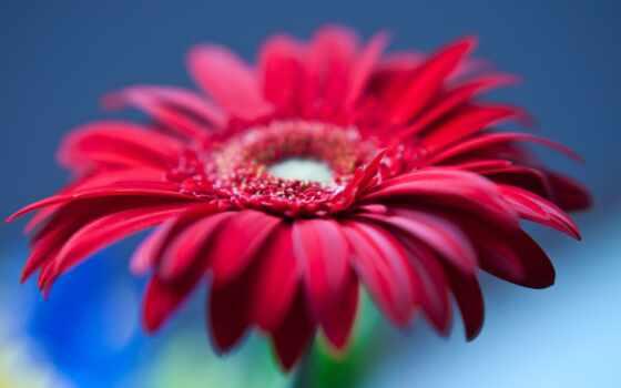gerbera, red, доставка, color, фон, цветы, cvety, blue, anonymous, moldovan, кишинев