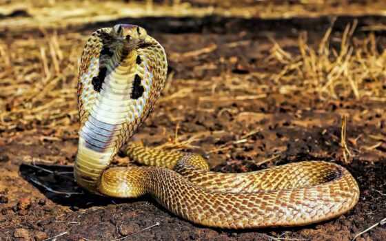 cobra, snake, animal, картинка, окно