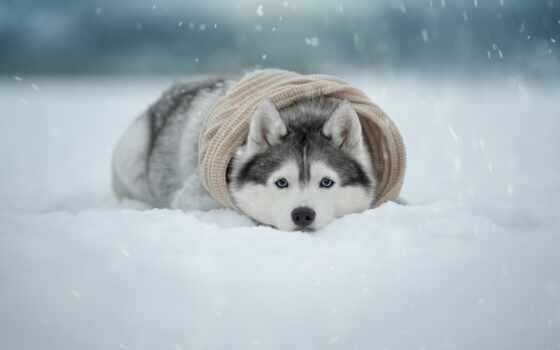 хаски, снег, снегопад, amino, google, ozhidatsya