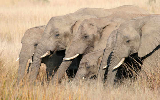 савана, слоны