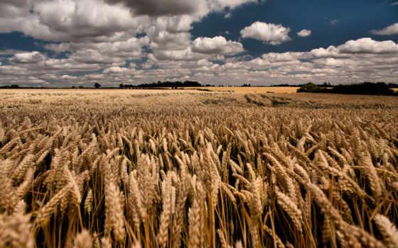 поле, пшеница, небо Фон № 35083 разрешение 3807x2536