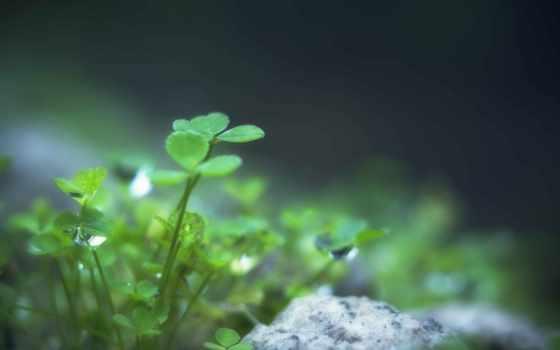 clover, листья, листочки
