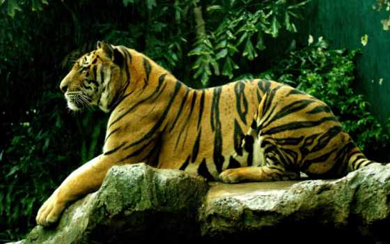 живые, тигр, zhivotnye