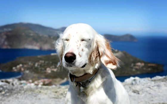 собака, stock, dogs, природа, друг, сеттер, english, морда, белый,
