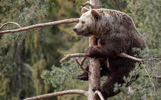 медведь, zhivotnye, лань, животных, леса, россии,