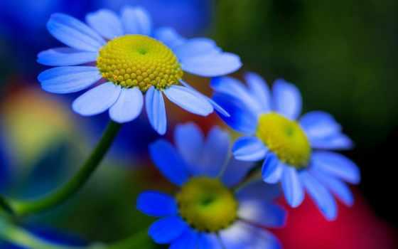 цветы, flowers, mobile, blue,