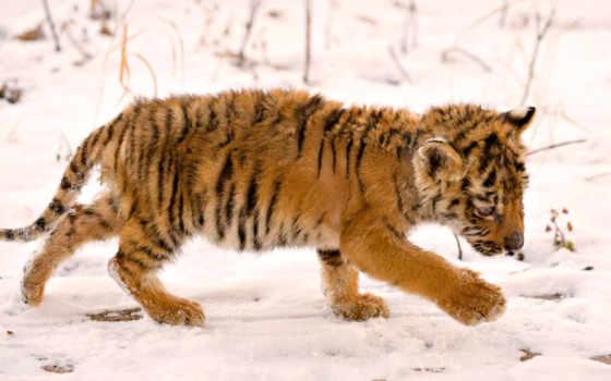 животные, тигренок, снег, тигр, мокрый, тигра, дитя,
