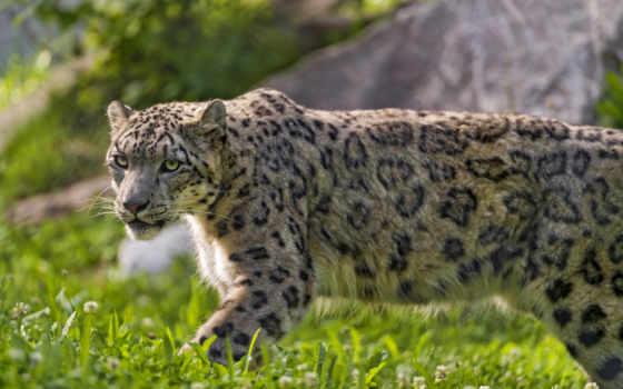 snow, leopard, cute