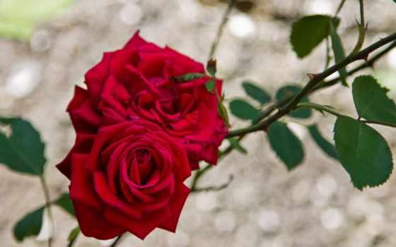 цветы, розы, ветки