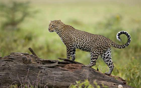 кошки, леопард, zhivotnye