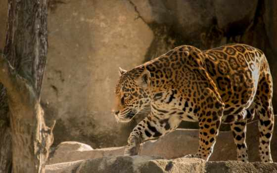 jaguar, кот, хищник