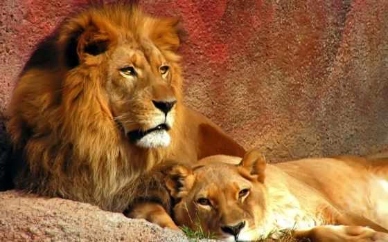 lion, львица, zhivotnye