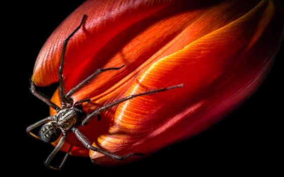 тюльпан, цветы, паук, лепестки, cvety, макро, игры, песочница, dark, страница,
