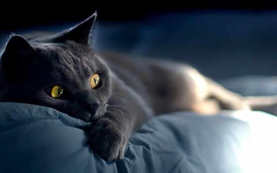 кошки, кот, русская, голубая, russian, году, характер, яndex, blue,