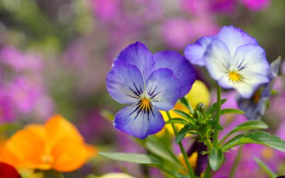 глазки, cvety, анютины, макро, голубые, виола, цветов,