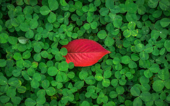 clover, листва, трава, растение, was, природа,