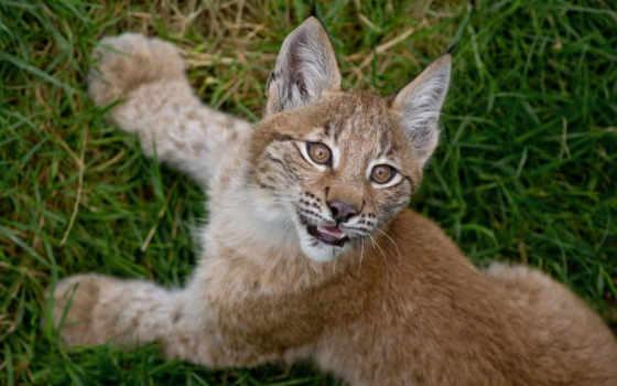 bobcat, рысь, baby, котенок, кот, source, images,