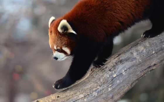 панда, red, дерево, iphone,
