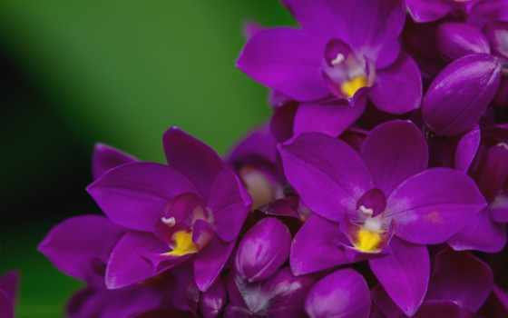 орхидея, первоцвет, цветы