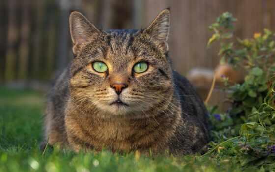 кот, зелёный, гепард, shorthair, глаз, хищник, картинка