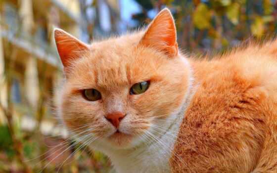 red, кот, animal, морда, коты, смотреть, природа, девушка