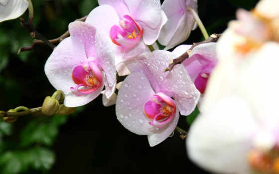 орхидеи, цветы, макро, крым, картинка, экзотика, капли, orchids, white,