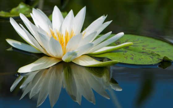 lotus, white