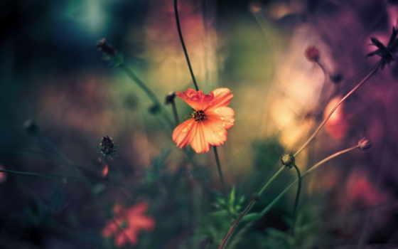 priroda, цветок, полевой