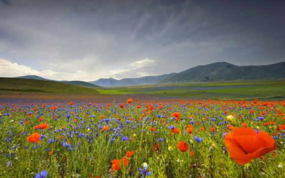 маки, васильки, поле, красные, cvety, зеленом, italian, умбрия, горы, ромашки,