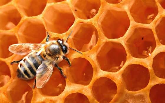 пчелы, пчелка, соты