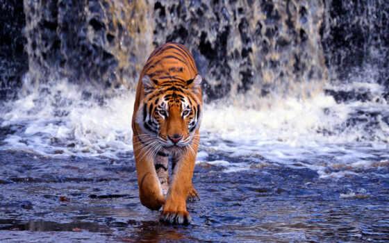 тигр, водопад