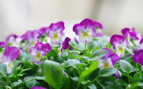 цветы, природа, анютины