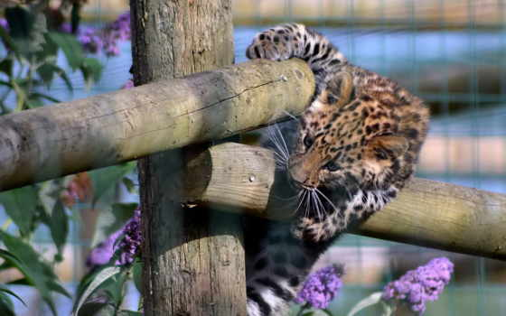 леопард, забор, хищник