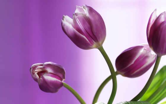 тюльпаны, красивые