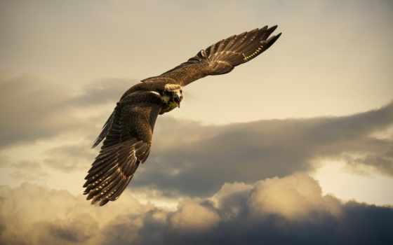 птица, сокол, небо
