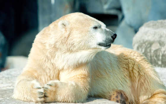 медведь, white, polar, лежит,