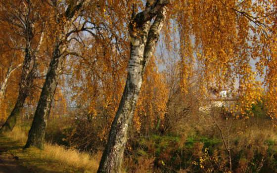 tapety, trees, природа, brzozy, картинка, расцветаю, осенью, again, каждой, парки,