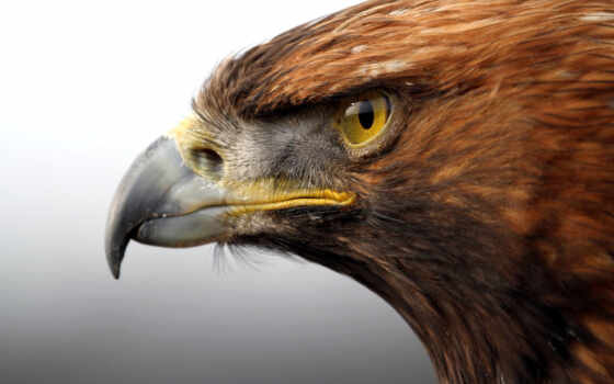 орлан, клюв, птица, голова, золотистый, хищник, взгляд,