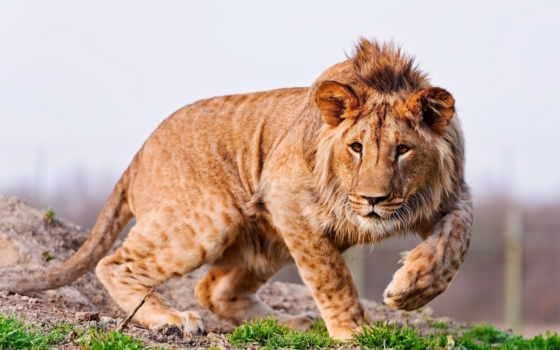 lion, молодой, грива, хищник, морда, трава, лапы, animal,
