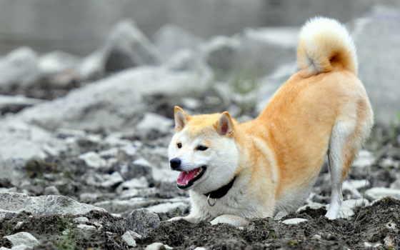 собаки, акита, shiba, хаски, zhivotnye, хатико, страница, бабочек,