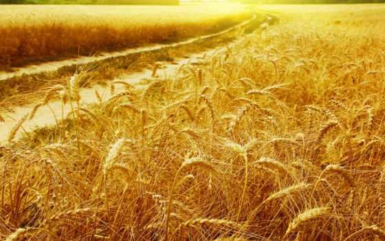 rye, source, поле